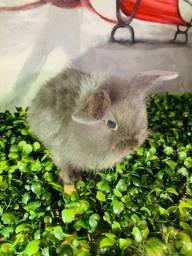 Minis coelhos