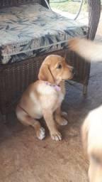 Filhote Fêmea de Labrador