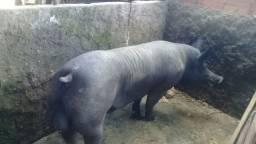 casal de porcos de raça