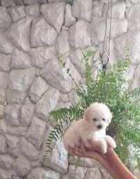 Filhote de Poodle Toy macho