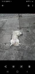 Doa - se urgente cachorro Mini Golden misturado