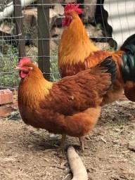 Ovos de New Hampshire