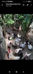 Vendo patos, gansos, galinhas LEIA O ANÚNCIO