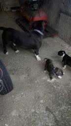 Filhote de PitBull Terrier