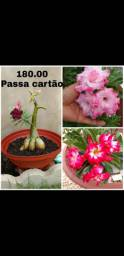 Rosas Do Deserto Enxertadas Palmas Centro