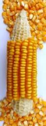 Milho direto do Produtor para venda ( Fazenda Guanabara - MT)
