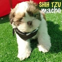 Shihtzu bebes com  50 dias, parcelamento facilitado!