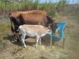 Vaca jersy