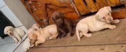 Labrador 42 dias com Pedegree