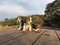 Beagle macho com 60 dias