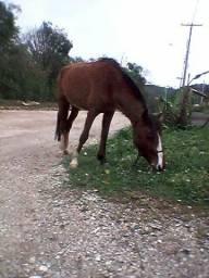 Vendo egua criola leia a discrição