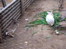 4 coelhos aduLtos