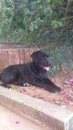 Labradores pretos