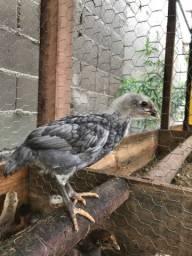 Pintinhos / galinha do ovo azul