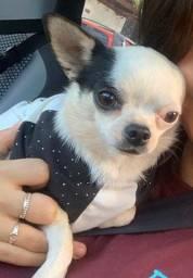 Chihuahua - Cobertura