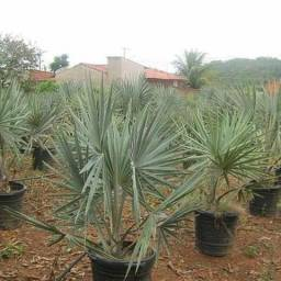 Palmeira azul (e outras mais)