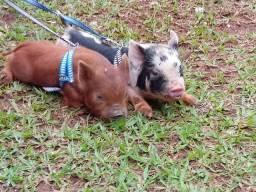 Mini porco (ping)