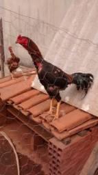 Galo e galinha indo