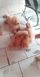Filhote de poodle fêmea