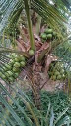 Coco de Paraipaba Ceará