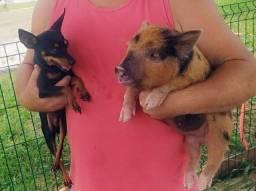 """Porco mini """"Pig"""" $800.00 cada (valor avista)"""