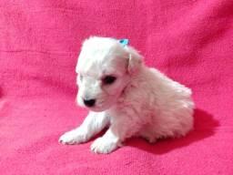 Poodle Babys com Vacina Importada Contrato e kit