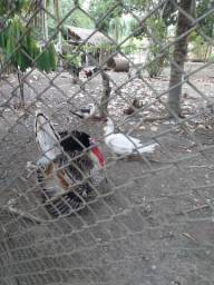 Patos,galinha caipira, Peru e porco
