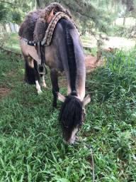 Cavalo crioulo garanhao confirmado
