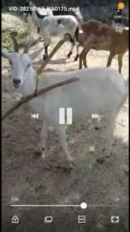 Vende-se 4 cabra