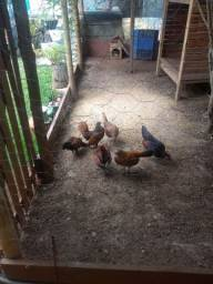 Vendo galinhas e galo sebragt, troco por algo do meu interesse