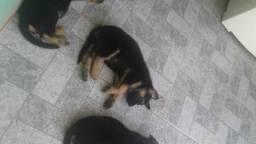 Filhotes de cachorro da raça pastor Alemão