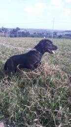Cachorro labrador preto de 1 ano