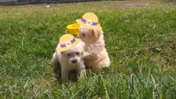 Lindos filhotes de poodle toy.