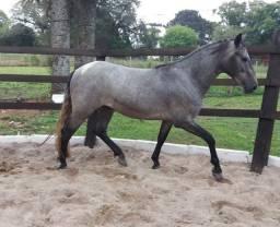 Vende-se cavalo manga larga(troco)