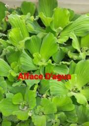 Plantas aquática Flutuantes