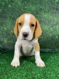 Filhotes perfeitos de Beagle