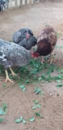 Galinhas e frangos caipira