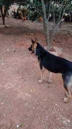 Vende se cachorra pastor alemão 5 mês *