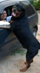 Canil Euro filhotes de Rottweiler padrão gigante de pais equilibrados 22x cartões