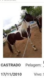 Cavalo castrado e registrado