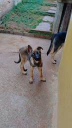 Vende se cachorra pastor alemão malinois fêmea 3 mês *