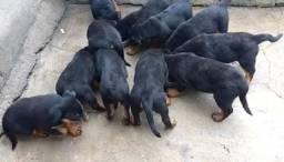 Filhotes rottweiler 60 dias