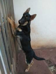 Cachorro pastor alemao preço a combinar