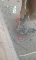 vendo 11 frangos