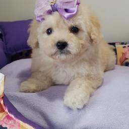 casalzinho de Poodle