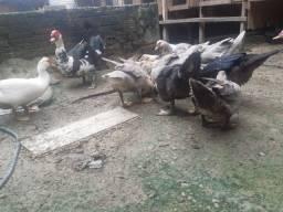 Patos comuns