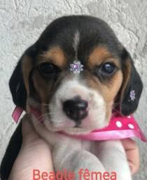 Beagle fêmea bb com 50 dias ja vacinada