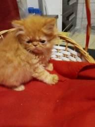 Filhotes de gatos persas exóticos puros.Parcelo cartão.Entrego em Curitiba e região