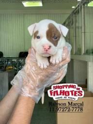 Título do anúncio: American Pitbull Terrier, linhagem pura, top, com pedigree
