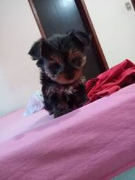 Vendo yorkshire terrier,mini.